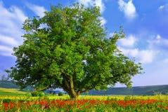 Poppy's field, blue sky and big green tree 2 stock photo