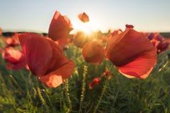 Poppy's Field At Sunrise Royalty Free Stock Photo
