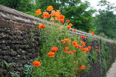 Poppy's on flint wall. Stock Photos