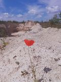 poppy samotny fotografia stock