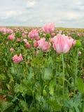 Poppy seed 1 Stock Photo