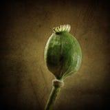 Poppy seed capsule Stock Image