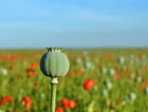 Poppy seed capsule Stock Images