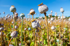 Poppy seed capsules on a background of the sky Stock Images