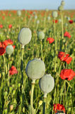Poppy seed capsules Stock Images