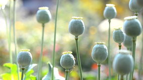 Poppy seed capsules stock video footage
