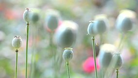 Poppy seed capsules stock footage