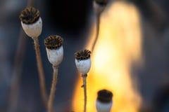 Poppy seed capsules macro Stock Photo