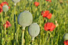 Poppy seed capsules. On a meadow Royalty Free Stock Photo