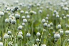 Poppy Seed fält Royaltyfri Foto