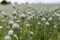 Poppy Seed fält Royaltyfria Bilder