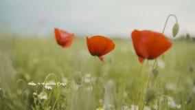Poppy Seed-Feld Blühende Mohnblumen stock footage