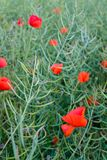 Poppy seed field closeup royalty free stock images
