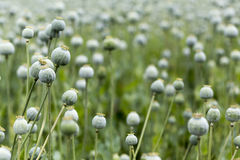 Poppy seed field Royalty Free Stock Photo