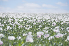 Poppy seed field plantation blossoming Stock Photography