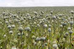 Poppy seed field Royalty Free Stock Images