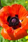 Poppy seed flower Stock Image