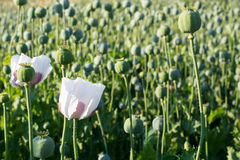 Poppy seed flower Royalty Free Stock Photo