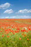 Poppy seed flowering field Royalty Free Stock Photography