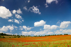 Poppy seed flowering field Royalty Free Stock Image