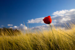 Poppy seed flowering Stock Photography