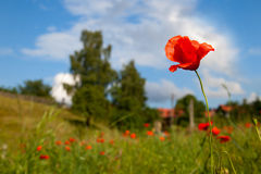 Poppy seed flowering Stock Images
