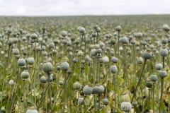 Poppy Seed-gebied Royalty-vrije Stock Afbeeldingen