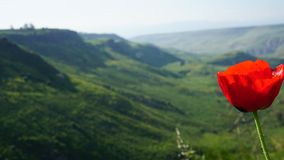 Poppy seed grows in Golan heights stock photos