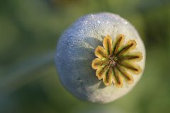 Poppy Seed Head Stock Image