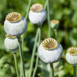 Poppy seed head Royalty Free Stock Photos