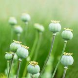 Poppy seed heads Royalty Free Stock Photography