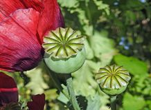 Poppy seed heads summer flowers plants royalty free stock photos