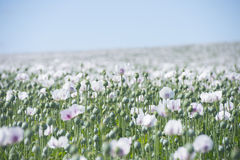Poppy seed meadow plantation blossoming Stock Images