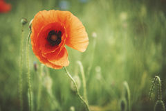 Poppy seed on the meadow. Poppies in the wind. Royalty Free Stock Photos