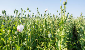 Poppy seed plants Stock Photography