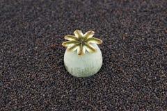 Poppy seed pod Royalty Free Stock Photos