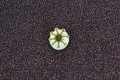 Poppy seed pod Royalty Free Stock Image