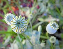 Poppy seed pod heads flowers plants royalty free stock image