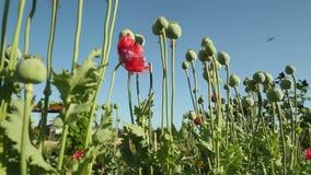 Poppy Seed Pods in der Brise stock video footage