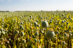 Poppy seed pods in a field from close Stock Photos