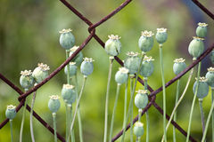 Poppy seed pods Stock Photography