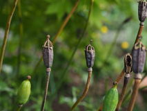 Poppy seed pods - Meconopsis cambrica Royalty Free Stock Photo