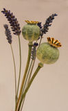 Poppy seedheads and lavendar Stock Images