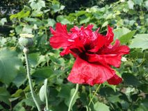 Poppy and seeds. Red poppy blooming in the garden Royalty Free Stock Images