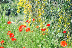 Poppy seeds. In spring in Cyprus Royalty Free Stock Images
