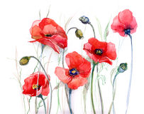 Poppy (series C). Painting of poppy flowers isolated on white (series C