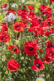 Poppy series 01 Royalty Free Stock Photos