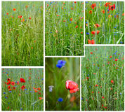Poppy Set Royalty Free Stock Photos
