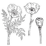 Poppy. A set of drawings of blooming poppies. Vector Stock Photo