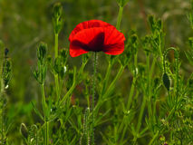 Poppy. Shallow dof. Stock Photos